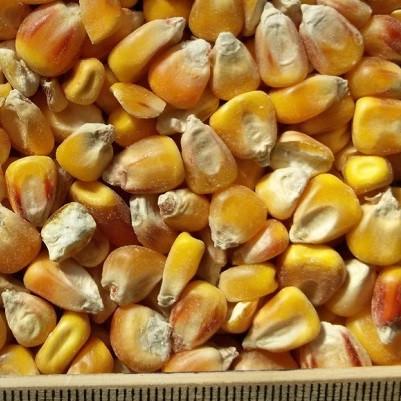 ce-corn-yellow