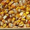 ce-corn-yellow1
