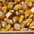 thumb_ce-corn2