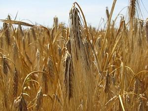 ce-wheat