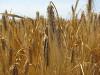 thumb_ce-wheat