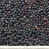 oi-rapeseeds2